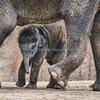 Asian Elephant, Baby Maliha, St. Louis Zoo.  Photo#BE510