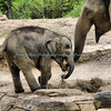 Baby Maliha and Mom - OPEN WIDE!!!  St. Louis Zoo  Photo #264