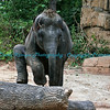 Asian Elephant, Baby Maliha, St. Louis Zoo.  Photo #BE505