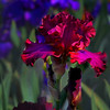 "Card #142 - ""Lady In Red"" hybrid iris at the Missouri Botanical Garden, St. Louis, MO. -- $3.50 ea 4/$12"