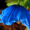 Card #146 - Himalayan Blue Poppy at the Missouri Botanical Garden, St. Louis, -- $3.50 ea 4/$12