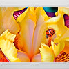 Card #110 - Yellow hybrid Iris with ladybug making it her home.  Missouri Botanical Garden, St. Louis, MO. -- $3.50 ea  4/$12.00