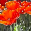 Card #108 - Orange Saucer Tulips glowing in the morning - Missouri Botanical Garden, St. Louis, MO.  -- $3.50 ea 4/$12