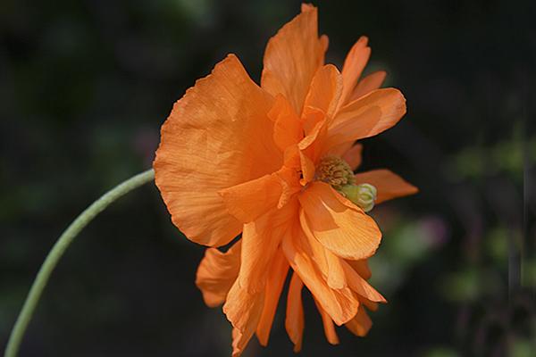 Card #140 - Orange Poppy Profile - Missouri Botanical Garden, St. Louis, MO.  -- $3.50 ea 4/$12