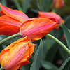 Card #143 - Orange Kissing Tulips at the Missorui Botanical Garden, St. Louis, MO. -- $3.50 ea 4/$12