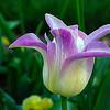 Card #112 - Purple lipstick tulips - Missorui Botanical Garden, St. Louis, MO.  -- $3.50 ea 4/$12