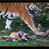 Mother and two four month old Amur (siberian) tigers, St. Louis Zoo.  Card # 217