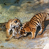 Three four month old Amur (Siberian) tigers, St. Louis Zoo.  Card #237