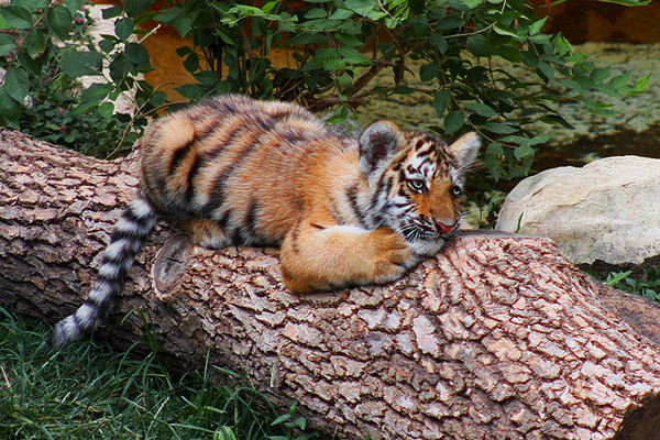 Four month old Amur (Siberian) tiger, St. Louis Zoo.  Card # 216