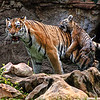 Mother and baby Amur (siberian) tigers - just after baby came out of water, St. Louis Zoo.  Card #233