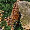 Four month old Amur (Siberian) tiger, St. Louis Zoo.  Card # 232