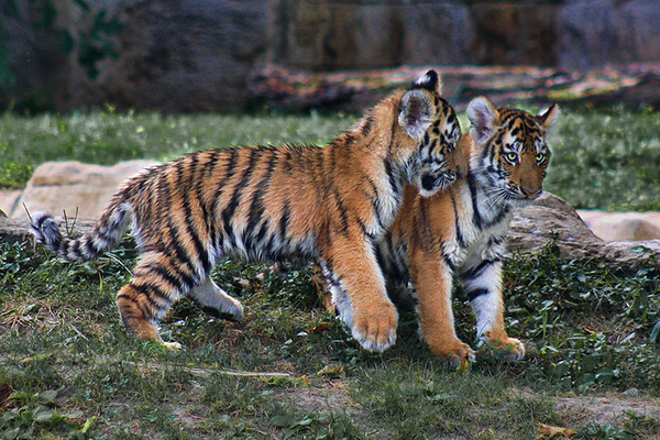 Two four month old Amur (Siberian) tigers, St. Louis Zoo.  Card # 222