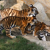 Four month old Amur (Siberian) tigers, St. Louis Zoo.  Card # 226