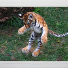 Four month old Amur (Siberian) tiger, POUNCING. St. Louis Zoo.  Card #224