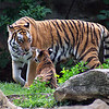 Mother and 4 month old baby Amur (Siberian) tigers, St. Louis Zoo.  Card #219