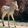 Five Day old baby girl Wild Ass of Somali testing out her new legs at the St. Louis, Missouri, Zoo.  Card #200
