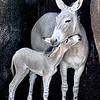 Momma Wild Ass of Somali and her 5 day old baby girl snuggling at the St. Louis, Missouri, Zoo.  Card #199
