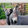 Two Wild Asses of Somali falling in love - St. Louis, Missouri, Zoo. Card #164