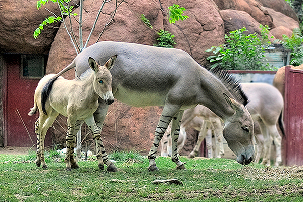 New Momma Wild Ass of Somali and her baby girl at the St. Louis, Missouri, Zoo.  Card #134