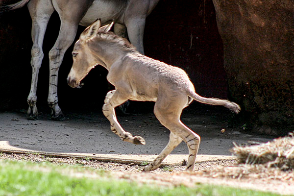 Only 5 days old baby Wild Ass of Somali running full tilt at the St. Louis Missouri Zoo.  Card #201