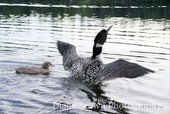 Loon with Wings Spread young Baby Loon
