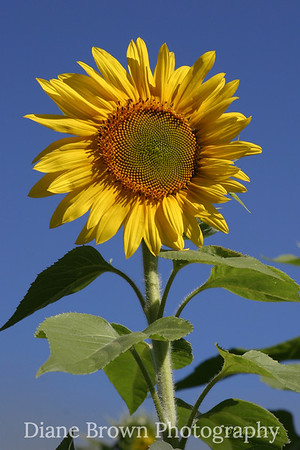Vermont Sunflower #2275