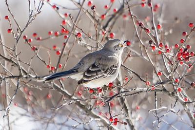 Bird 4 Mockingbird Berry
