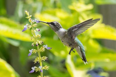 Hummingbird 10