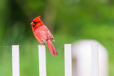 Cardinal on White Fence