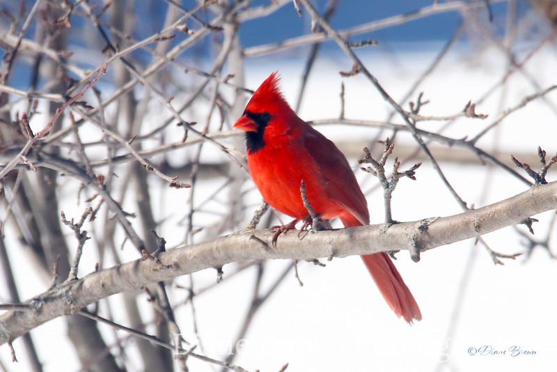 Foxtale_0166_Cardinal4x6.jpg
