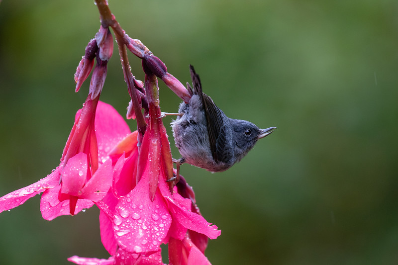 Slaty Flower-Piercer