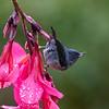 Slaty Flower-Piercer