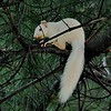 Albino Squirrel. Albany New York