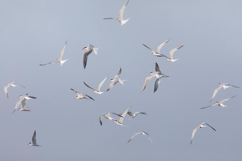 Terns in Flight near Est Baubassin, New Brunswick
