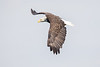 Bald Eagle soars over St Anns Bay near Englishtown, Cape Breton, Nova Scotia