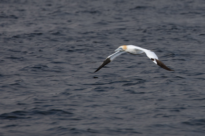 Northern Gannet surveys late evening waters near Big Bras d'Or Bay on Cape Breton