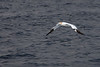 Northern Gannet surveys late evening waters near Big Bras d'Or Bay on Cape Breton