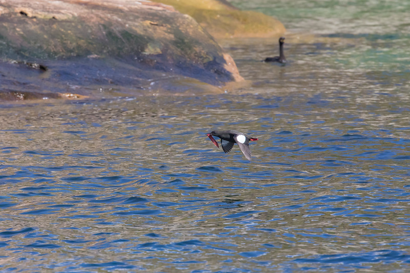 Black Guillemot with Red Rock Eel in tow - Bird Islands near Englishtown, Cape Breton, Nova Scotia