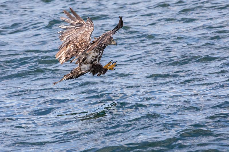 Immature Bald Eagle makes final aproach for a fish in St Anns Bay near Bird Islands, Englishtown, Cape Breton, Nova Scotia