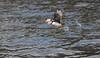 Puffins near Bird Island off Cape Breton