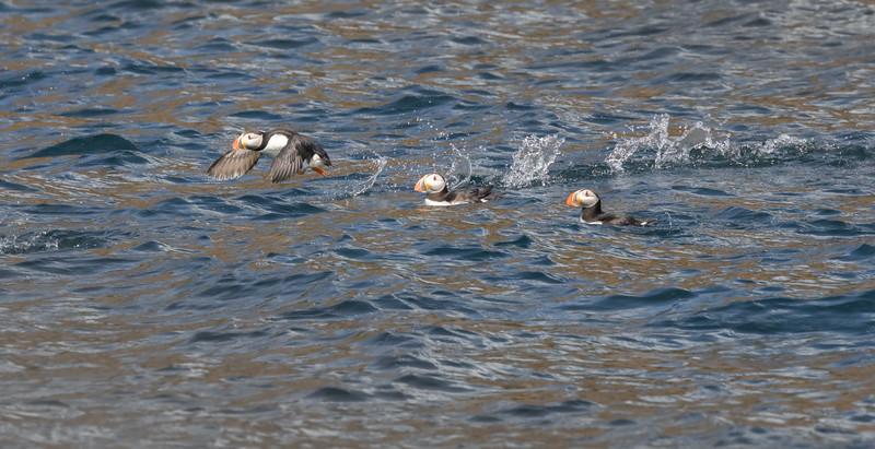 Puffins blast off near Bird Island off Cape Breton