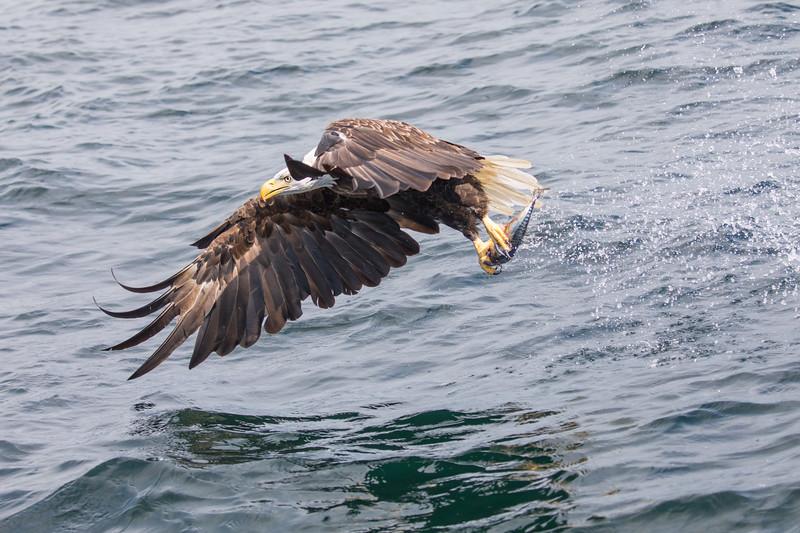 Bald Eagle snatches lunch from St Anns Bay near Englishtown, Cape Breton, Nova Scotia