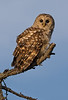 Barred Owl at dusk in wilderness of Grand Manan
