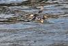 Airborne Puffin near Bird Island in St Ann Bay off Cape Breton