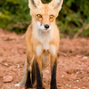 "Cavendish Beach Provincial Park, PEI, the ""not so"" wild foxes of PEI"