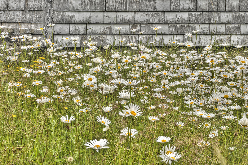 Daisies - Pleasant Bay, Cape Breton, NS