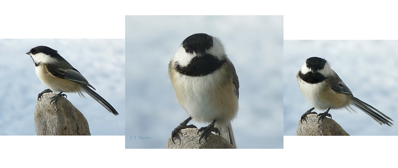 Chickadee, Winter 2011