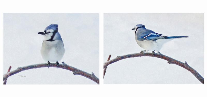 Blue Jay, Winter 2011