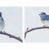 Blue Jay, Winter 2011