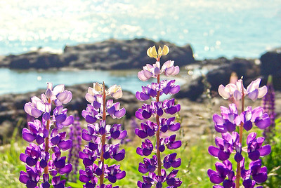 Lupines, private garden, Scots Bay